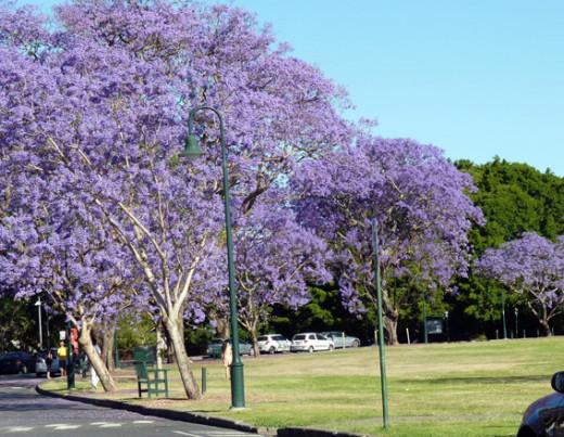 The Jacarandas of New Farm Park. Image from newfarmpark.com.au