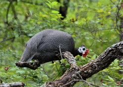 The Guinea Fowl – Interesting Facts and Information