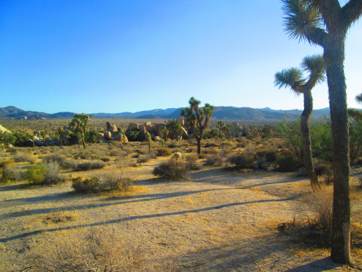 The Joshua trees look like they are beckoning visitors with their arms to come frolic among the trees.