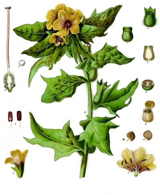 Hyoscyamus niger - Köhler's Medizinal-Pflanzen