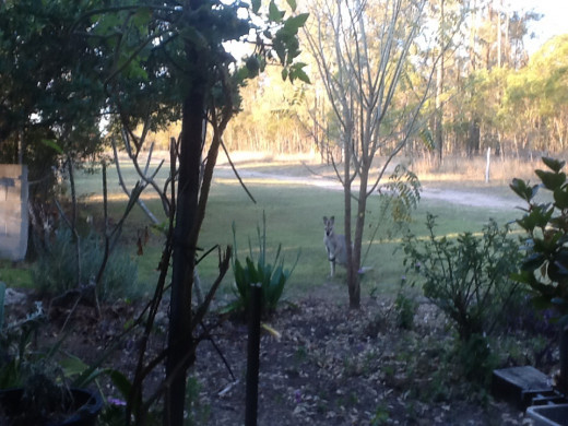 The view from the front window while sitting at my lap top. One wallaby can be seen where minutes ago the were a total of six roos and wallabies.