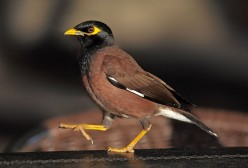 Birds of the world. A-Z of Bird genera. Part 4, Acridotheres. Myna birds