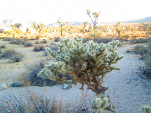 A teddy bear cholla cactus in the late afternoon.