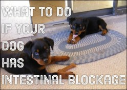 Symptoms of Intestinal Blockage in Dogs
