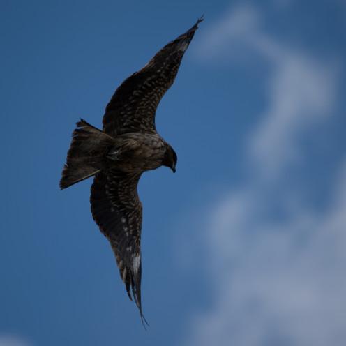 Black Kite in Enoshima