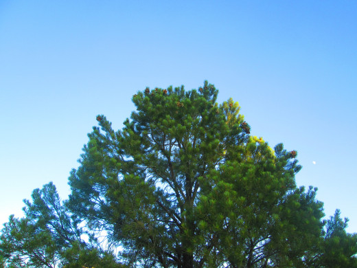 A majestic pinyon pine tree.