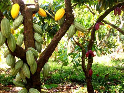 The yellow and red varieties of Philippine Cacao (Photo Source:http://metrocebu.com.ph/)