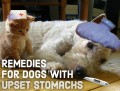 Vet-Approved Home Remedies for Upset Stomachs in Dogs