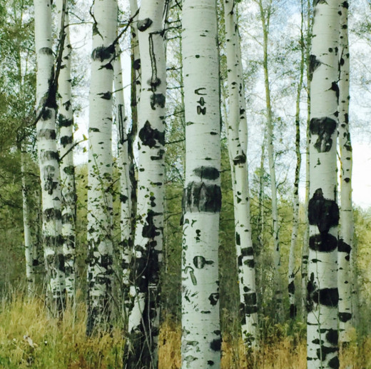 Carvings on the aspen trees
