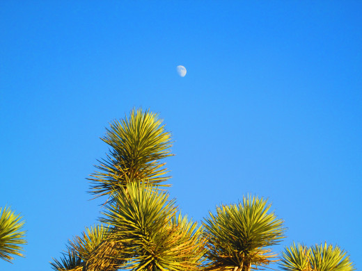 A closeup image of the moon over the green leaves of the Joshua tree.
