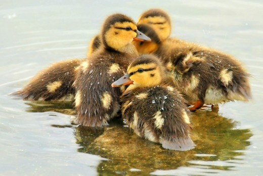 Ducklings resting on a rock by the river.