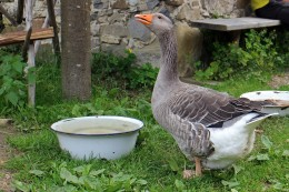Duck drinking from a shallow bowl.
