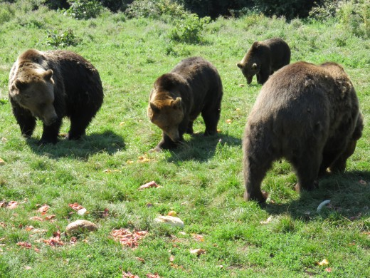 Libearty Bear Sanctuary, Zărnești, Transylvania, Romania