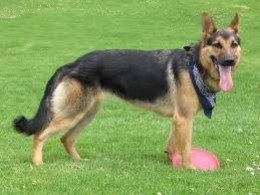 German Shepherd         (Alsatian)