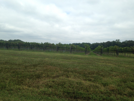 The vineyard at the Williamsburg Winery