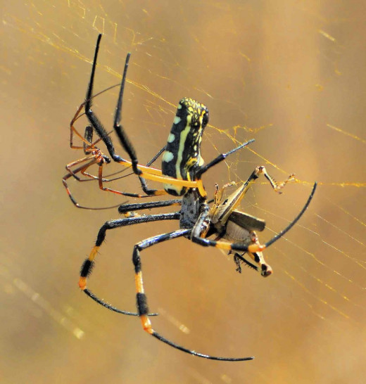 Male Golden Orb Spider -stealthily approach the female at the back after a courtship Dance