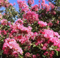 Proper Pruning of Crepe Myrtles