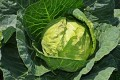 Cabbage - Cancer Prevention/For Your Health