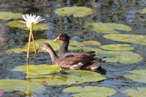 Male and Female Common Gallinules