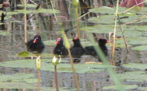 Common Gallinule Chicks in a row