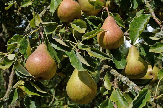 Pears are a delicious and nutritious fruit.