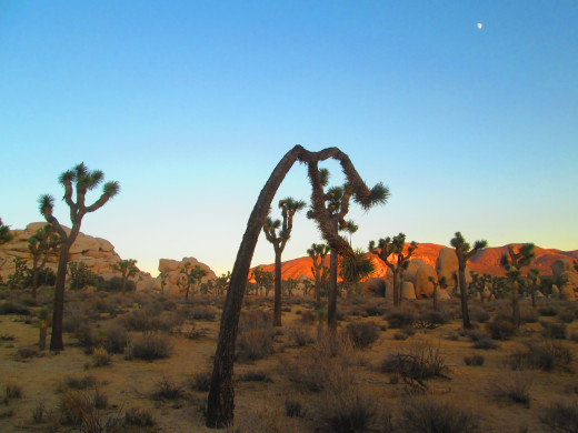 This Joshua tree looks like it is doing a side stretch.