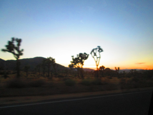 Gazing at Joshua trees during sunset.
