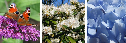Some popular shrubs in the US
