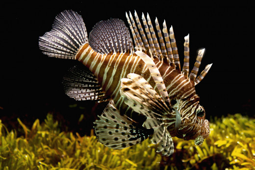 The Lion Fish is stunning but divers need to avoid the poisonous spines.