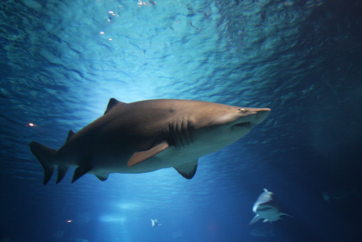 Sharks are powerful, streamlined, top predators.