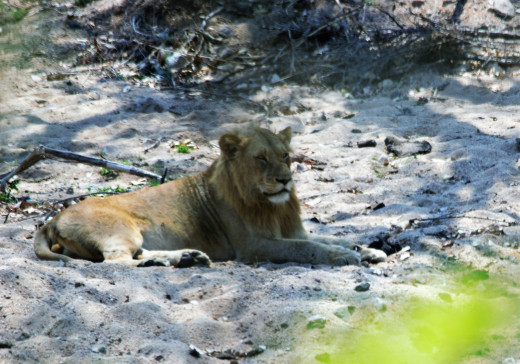 Lions resting in river bed