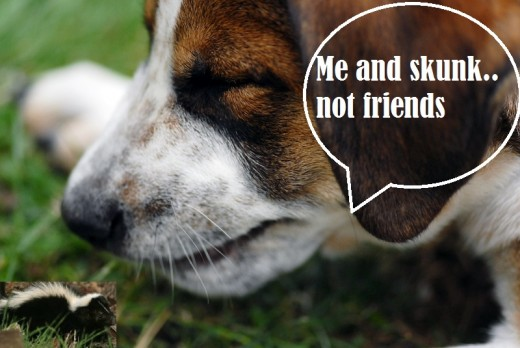 Get Rid Of Skunk Smell Off Dogs