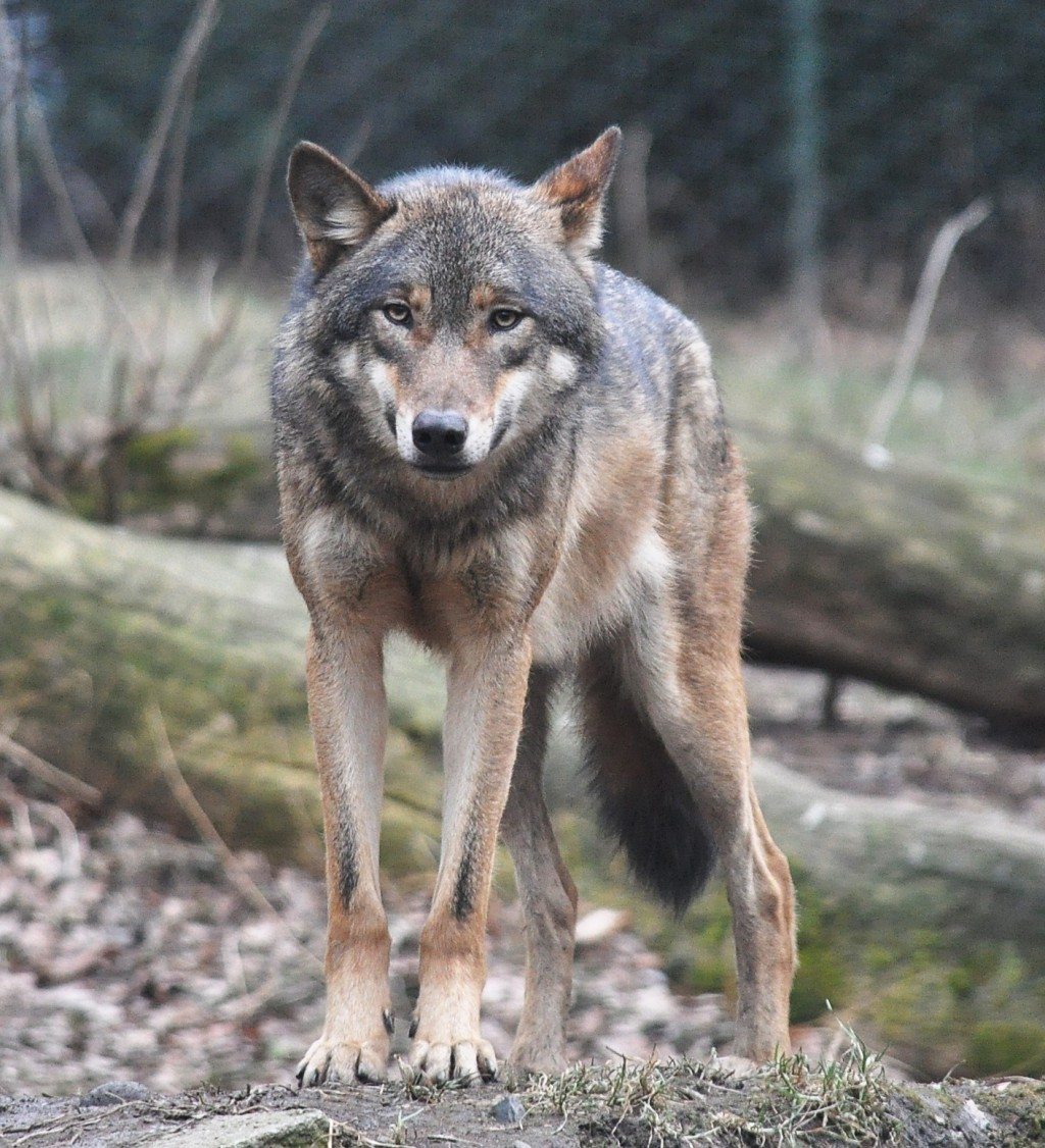 Evolution of grey wolf to modern dogs | HubPages