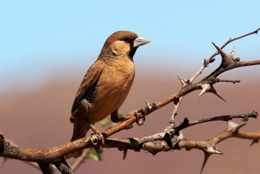 Sociable weaver (Philetairus socius), Tswalu Kalahari Reserve, South Africa