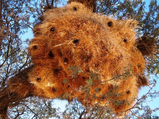 Weaver nests in a tree