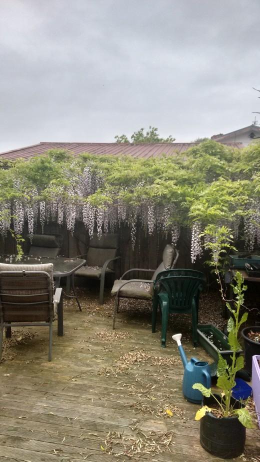 The Wisteria looks amazing. No need for a sun umbrella!