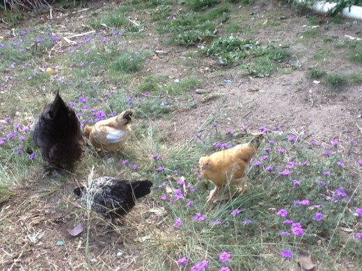 The chickens free ranging