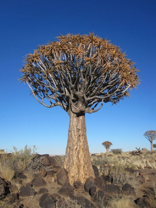 A Quiver tree also known as Kokerboom - Aloe dichotoma