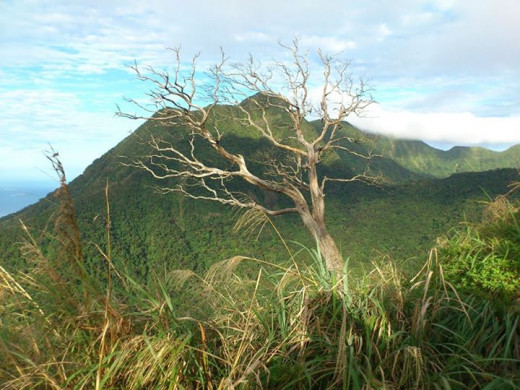 Sassy Tree located at the summit of Mt. Mariveles, Tarak Ridge