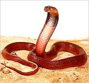 Perhaps the most beautiful cobra:  The Egyptian Red Spitting Cobra