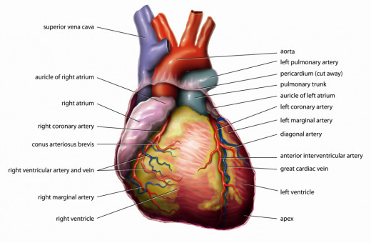 Anatomy of a heart.
