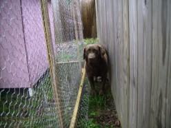 Brownie patrols the corridor to keep out predators