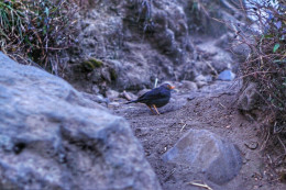 A nice black starling accompanied us going to the peak.