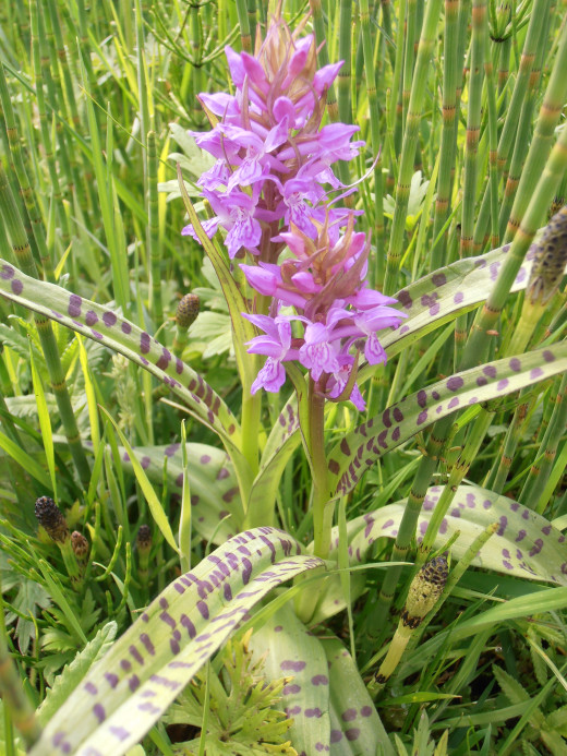 The Spotted Reed Orchid