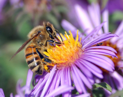 Honey bee gathering nectar and pollen from a cone flower.