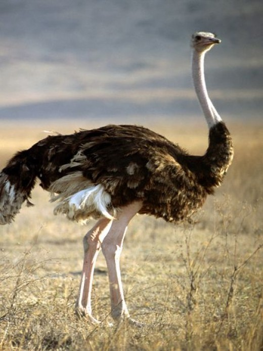 Male ostrich @ The African Travel Club