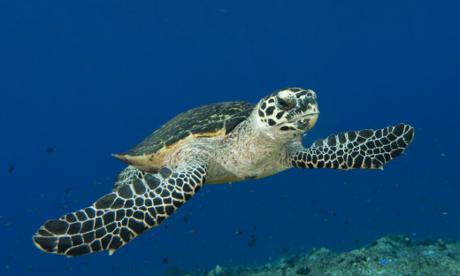 These turtles have declined more than 80% just in the last century alone. Mostly because of hunting for their magnificent shells.