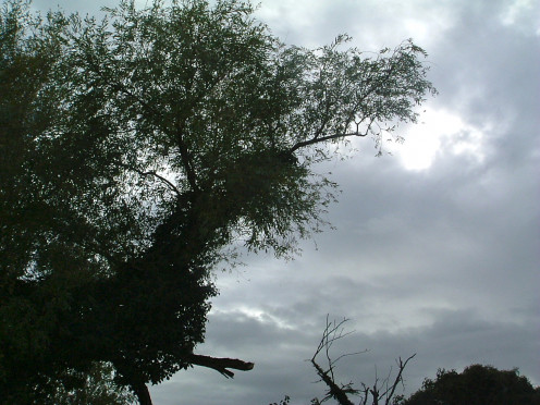 An old Willow in need of pollarding (pruning)