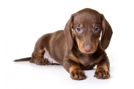 Remy is a cute name for a brown female dachshund puppy.