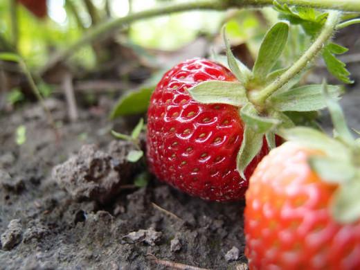 Ukrainian strawberry